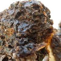 Chaga: how we find, process, and use it
