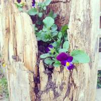 Plant Series: Pansies