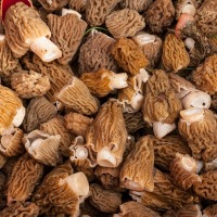 Finding and Using Morels